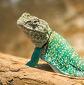 Small Lizard ready for summer heat Royalty Free Stock Photo