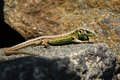 Small lizard on the rock green and brown Stock Photo