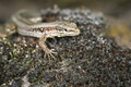 Small lizard side front view of a wall podarcis muralis sitting on foam with low depth of field location south tyrol near meran Royalty Free Stock Photo