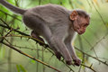 Small macaque monkey walking in bamboo forest animal wild south india Royalty Free Stock Image