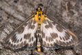 Small magpie moth (Anania hortulata) Royalty Free Stock Photo