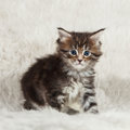 Small maine coon siiting on white bacground fur Stock Photos