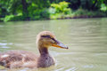 Small mallard on water surface swimming lake s Stock Images
