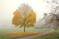 Small maple tree with golden leaves in misty autumn morning yellow Royalty Free Stock Images
