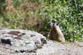 Small marmot behind rocks a fury pops up some Royalty Free Stock Photography