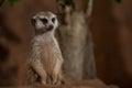 Small meerkat or suricate (Suricata suricatta) Royalty Free Stock Photo