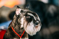 Small Miniature Schnauzer Dog Zwergschnauzer Royalty Free Stock Photo