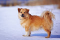 Small mongrel red doggie shaggy not purebred dog doggie on walk mongrel on snow Stock Photo