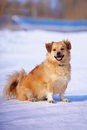 Small mongrel red doggie shaggy not purebred dog doggie on walk mongrel on snow Royalty Free Stock Image
