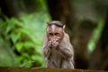 Small monkey in bamboo forest south india eating food Stock Image