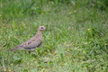 Small mourning dove on ground a walking through the grass in a rural area Stock Photos