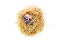 Small mouse babies in nest straw close up Stock Photos