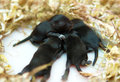 Small mouse babies in their nest Royalty Free Stock Image