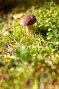 Small mushroom in the forest edible Royalty Free Stock Photo