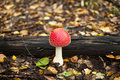 Small mushroom that grew in the autumn forest Royalty Free Stock Image