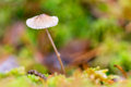 Small mushroom with a wet cap in green moss during autumn or fall Royalty Free Stock Images