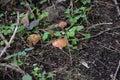 Small mushrooms Royalty Free Stock Photo