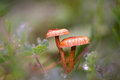 Small mushrooms macro shot of in spring Royalty Free Stock Photo