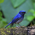 Small niltava beautiful blue bird male macgrigoriae standing on the log Royalty Free Stock Photography