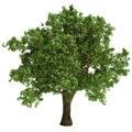 Small Oak Tree Isolated