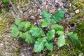 Small oak tree seedling. Young trees growing in the forest undergrowth