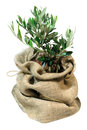 Small olive tree in the bag Royalty Free Stock Photo