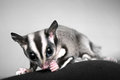 Small omnivorous arboreal gliding possum sugar glider petaurus breviceps Stock Photos