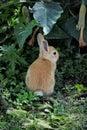 Small Orange Bunny Royalty Free Stock Photo
