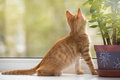 Small orange kitten look in the window lays on sill and Stock Image