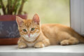 Small orange kitten look in the window lays on sill and Royalty Free Stock Photo