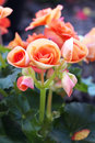 Small orange roses beautiful are in a garden Stock Images