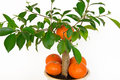 Small orange tree. Stock Images
