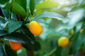 Small orange on the tree fresh Royalty Free Stock Images