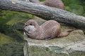 Small otter Stock Images