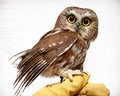 Small owl on hand Royalty Free Stock Photo