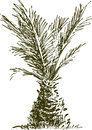 Small palm vector drawing of a tropical tree Stock Images