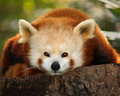 A small panda (firefox) Royalty Free Stock Photos