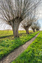 Small path with old pollard willows in a row Royalty Free Stock Photo