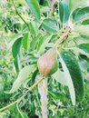 A small pear growing on a limb of the tree getting bigger in the summer Royalty Free Stock Photography