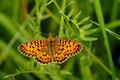Small pearl-bordered fritillary Stock Images