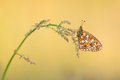 Small pearl bordered fritillary butterfly resting on grass at a yellow background Royalty Free Stock Photos
