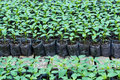 Small pepper plants in a greenhouse for transplanting Royalty Free Stock Photo