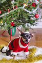 Small pincher in xmas clothes dog sitting under christmas tree Stock Photo