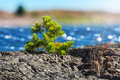 Small pine tree on coast sweden made the way through rocks Royalty Free Stock Photos