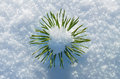 Small pine tree in the snow. Royalty Free Stock Images
