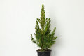 Small pinetree in a pot Royalty Free Stock Photo