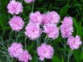 Small pink carnations tuft in green leaves, unpretentious garden plant, botanical name Dianthus caryophyllus, other Royalty Free Stock Photo