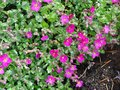 Small pink flowers in a garden Royalty Free Stock Photo
