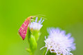 Small pink moth. eating nectar of Goat Weed Stock Photography