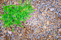 Small pink purple flower with Green leaf growing on pebbles Royalty Free Stock Photo